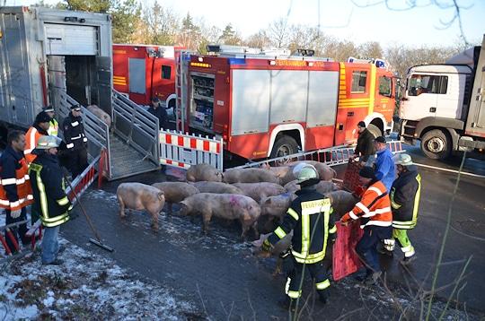 Schweinetransporter verunglückt: Die Feuerwehr Buxtehude treibt die Tiere mit Unterstützung weiterer Helfer in ein Ersatzfahrzeug. Foto: Polizei