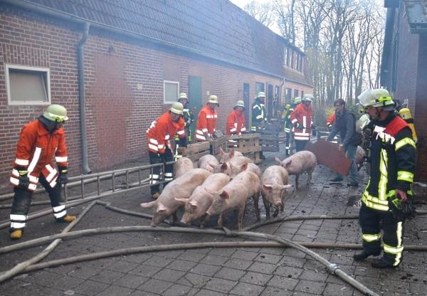Rund 200 Schweine kann die Feuerwehr aus einem brennenden Schweinestall retten. (Foto: Polizei)