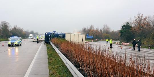Unfall bei Schwarmstedt auf der A 7: ein Transporter, beladen mit Schweinen, ist verunglückt. Foto: Polizei