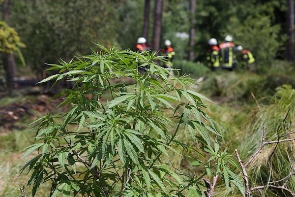 Unmittelbar neben der Brandstelle: Cannabis-Pflanzen. Foto: News5