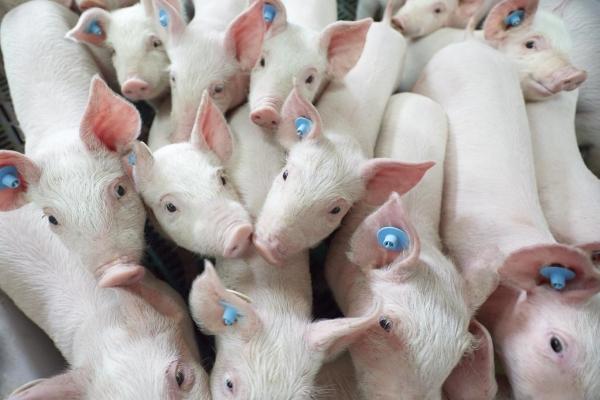 Schweine. Symbolfoto: Ralf Baumgarten/Die Lebensmittelwirtschaft