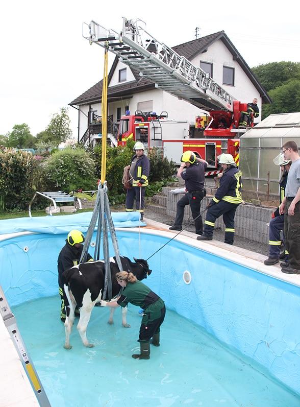 Kuh im Pool Foto: Feuerwehr