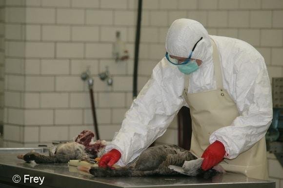 Nur im labor kann nachgewiesen werden, ob Vögel (hier zwei Graugänse) wirklich am Vogelgrippe-Virus verendet sind. Foto: Frey