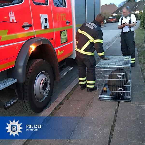 Das gerettete Hängebauchschwein in seinem Transportkäfig.